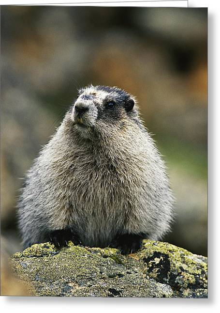 A Portrait Of A Hoary Marmot Sitting Greeting Card by Michael S. Quinton