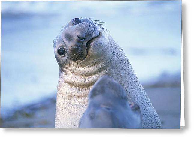 Elephant Seals Greeting Cards - A Portrait Of A Northern Elephant Seal Greeting Card by Rich Reid