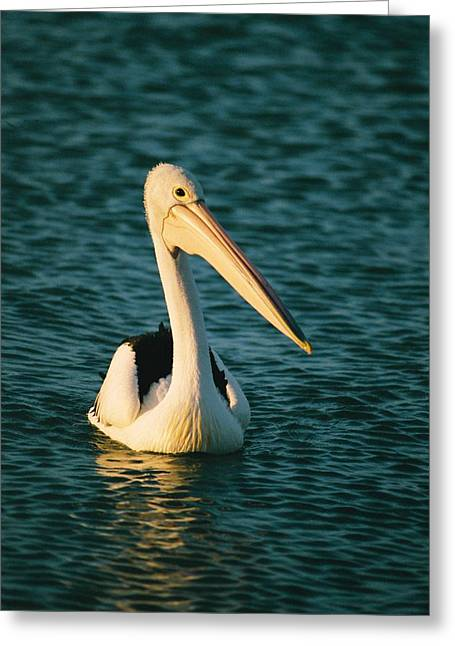 Monkey Mia Greeting Cards - A Portrait Of A Pelican Swimming Greeting Card by Bill Ellzey