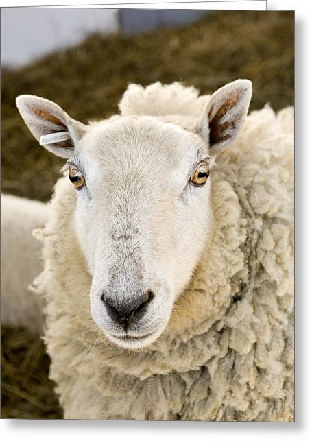 Ear Tags Greeting Cards - A Portrait Of A Sheep With Ear Tag Greeting Card by Tim Laman