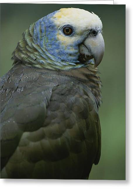 Amazon Parrot Greeting Cards - A Portrait Of A St. Vincent Parrot Greeting Card by Michael Melford