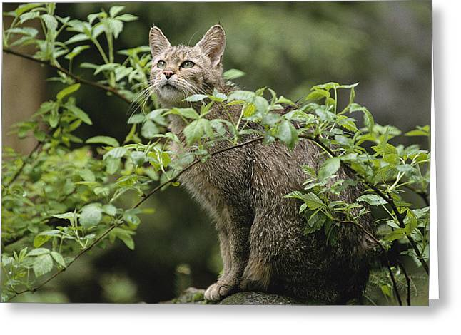 Felis Greeting Cards - A Portrait Of An African Wildcat Greeting Card by Norbert Rosing