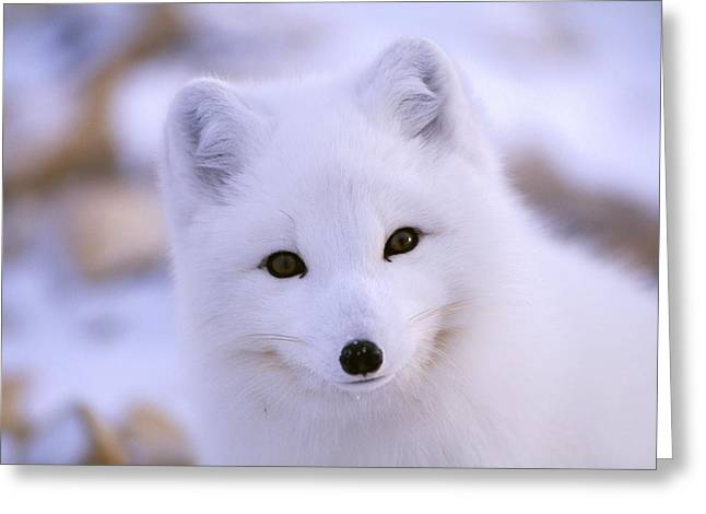 Northwest Territories Greeting Cards - A Portrait Of An Arctic Fox Alopex Greeting Card by Paul Nicklen