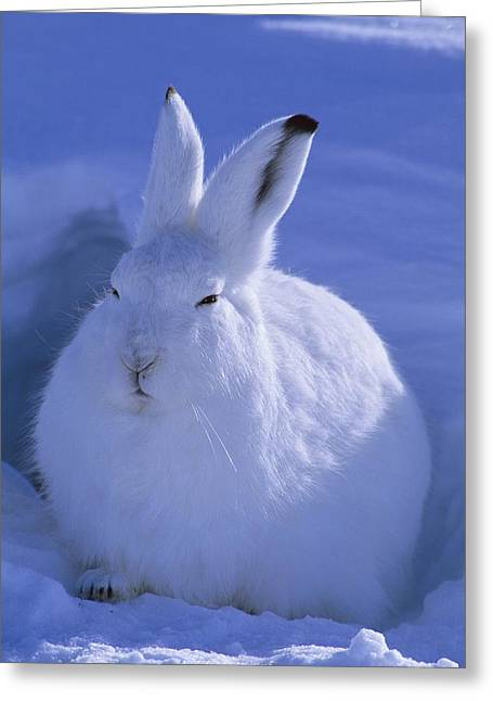 Hare Greeting Cards - A Portrait Of An Arctic Hare Lepus Greeting Card by Paul Nicklen