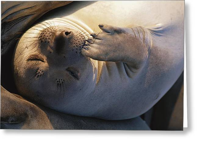 Elephant Seals Greeting Cards - A Portrait Of An Elephant Seal Mirounga Greeting Card by Paul Nicklen