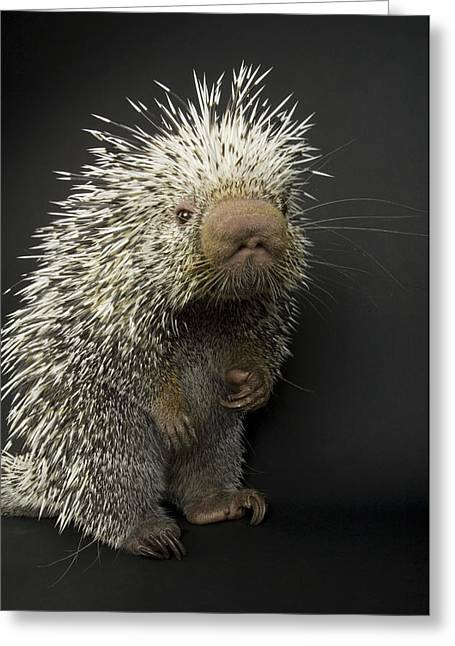 Sharp Claws Greeting Cards - A Prehensile-tailed Porcupine Coendou Greeting Card by Joel Sartore
