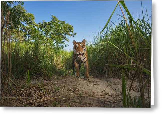 Remote Cameras And Remote Camera Traps Greeting Cards - A Protected Tiger In Kaziranga National Greeting Card by Steve Winter
