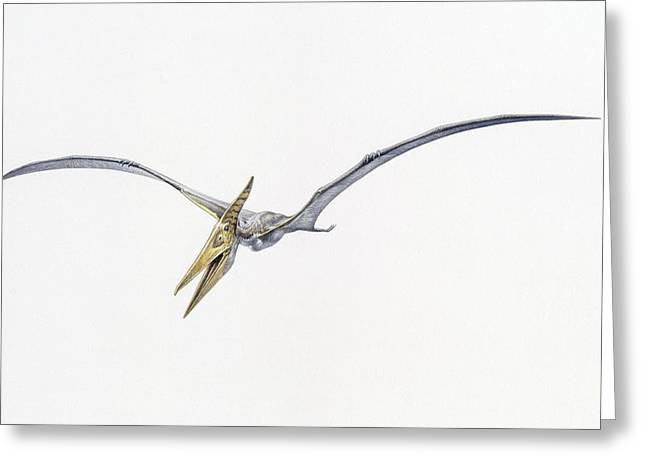 Flying Animal Greeting Cards - A Pteranodon From The Cretaceous Period Greeting Card by John Sibbick