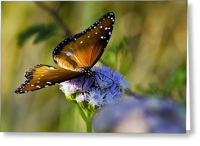 Queen Butterfly Greeting Cards - A Queen Butterfly  Greeting Card by Saija  Lehtonen