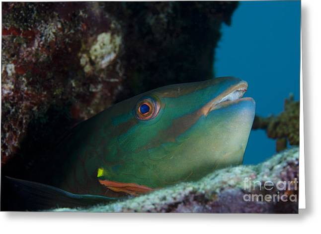 Undersea Photography Greeting Cards - A Rainbow Parrotfish Pokes Its Head Greeting Card by Terry Moore