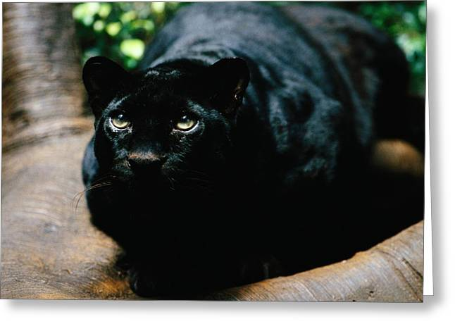 Black Leopard Greeting Cards - A Rare Black Leopard In Jungle World Greeting Card by Michael Nichols