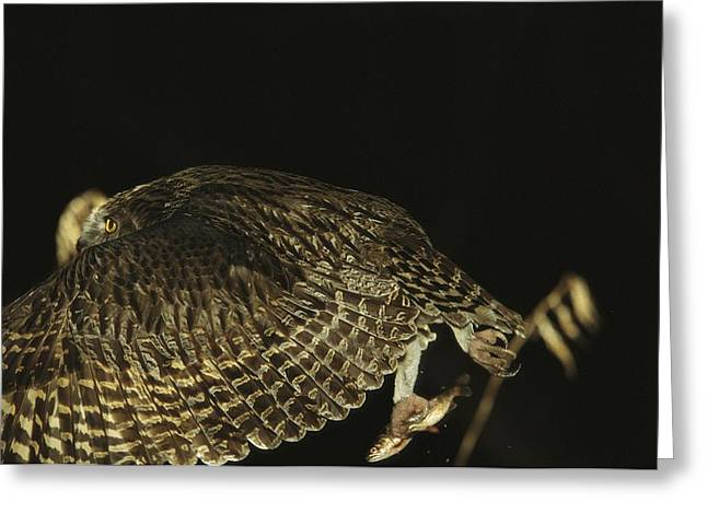 Rare Fish Greeting Cards - A Rare Blakistons Fish Owl In Flight Greeting Card by Tim Laman