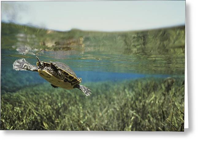 Aquatic Split Level Views Greeting Cards - A Rare Suwannee Cooter Swims Greeting Card by Bill Curtsinger