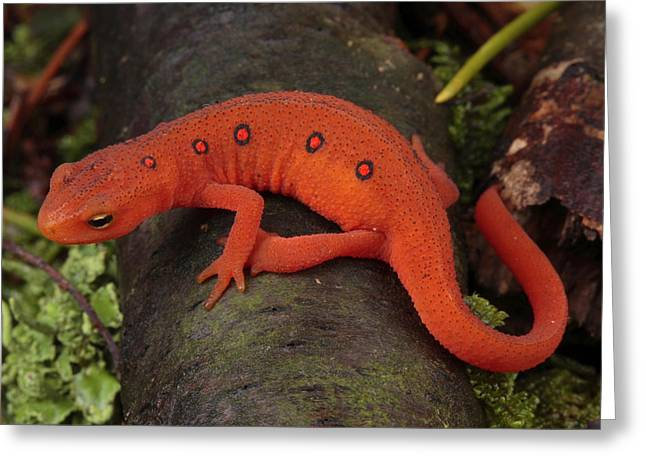 Forest Floor Greeting Cards - A Red Eft Crawls On The Forest Floor Greeting Card by George Grall