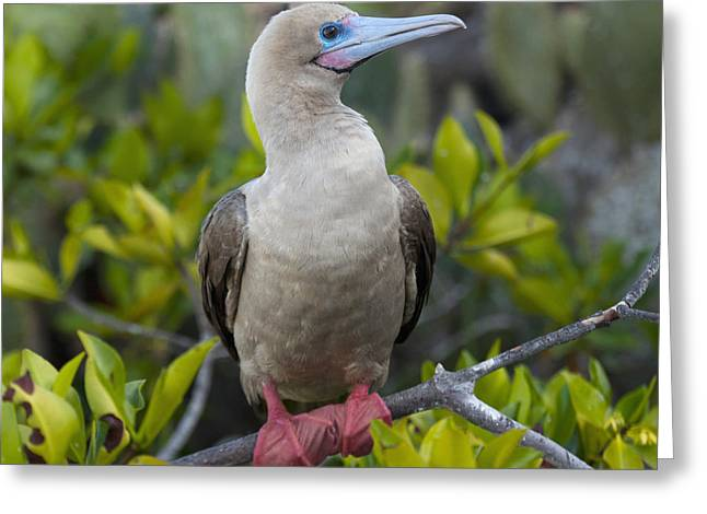 Brown Booby Greeting Cards - A Red-footed Booby Sula Sula Galapagos Greeting Card by Keith Levit