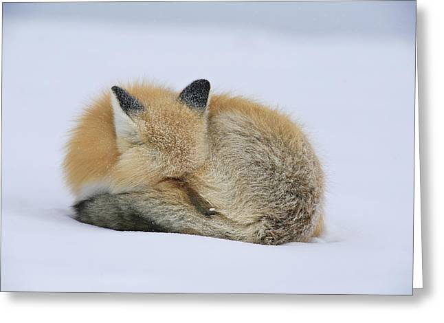 Curled Up Greeting Cards - A Red Fox Takes A Nap On A Cold Greeting Card by Drew Rush