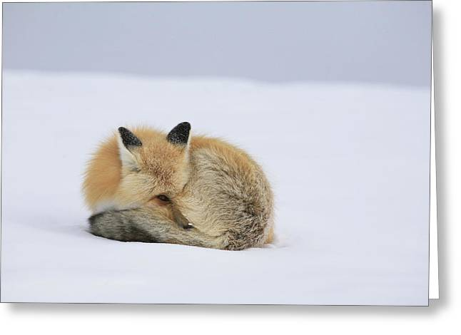 Curled Up Greeting Cards - A Red Fox Tries To Stay Warm Greeting Card by Drew Rush