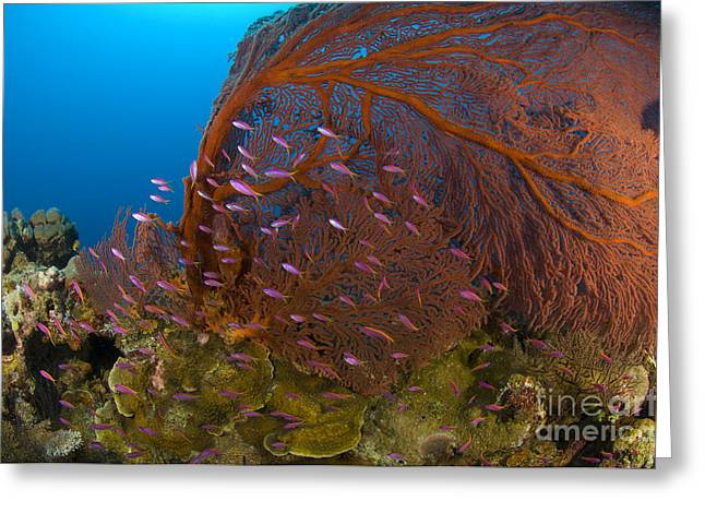 New Britain Greeting Cards - A Red Sea Fan With Purple Anthias Fish Greeting Card by Steve Jones