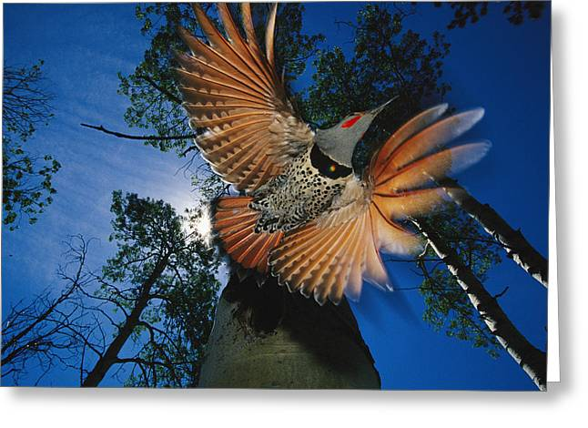 Flying Animal Greeting Cards - A Red Shafted Northern Flicker Greeting Card by Michael S. Quinton