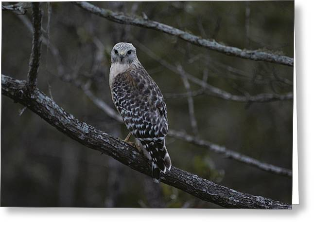 J N Ding Darling National Wildlife Refuge Greeting Cards - A Red-shouldered Hawk Sits On A Tree Greeting Card by Bates Littlehales
