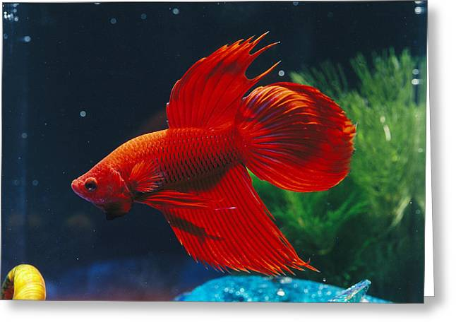 Siamese Fighting Fish Greeting Cards - A Red Siamese Fighting Fish In An Greeting Card by Jason Edwards