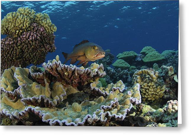 Red Snapper Greeting Cards - A Red Snapper In Kingman Reef Greeting Card by Brian J. Skerry