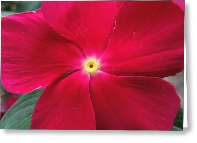 Photographs With Red. Greeting Cards - A Red Vinca Flower Greeting Card by Chad and Stacey Hall