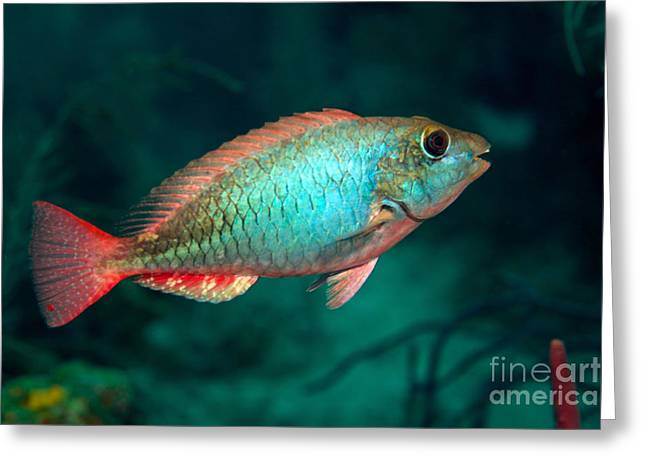 Undersea Photography Greeting Cards - A Redband Parrotfish Floats Motionless Greeting Card by Terry Moore
