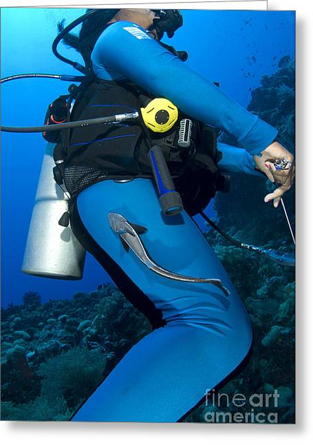 Osteichthyes Greeting Cards - A Remora Attached To A Diver, Kimbe Greeting Card by Steve Jones