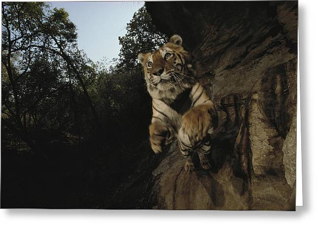 Remote Cameras Greeting Cards - A Remote Camera Captures A Leaping Greeting Card by Michael Nichols