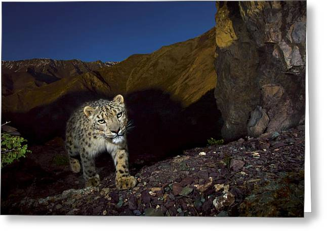 Remote Cameras And Remote Camera Traps Greeting Cards - A Remote Camera Captures An Endangered Greeting Card by Steve Winter