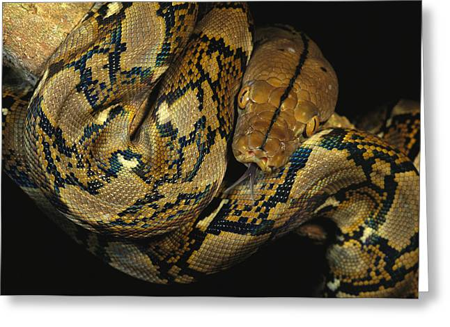 Brassey Greeting Cards - A Reticulated Python Wound Greeting Card by Tim Laman