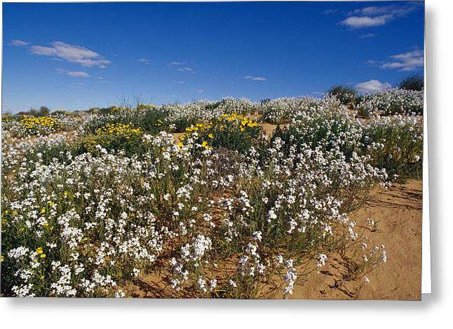 A Riot Of Wild Stock Flowers And Annual Greeting Card by Jason Edwards