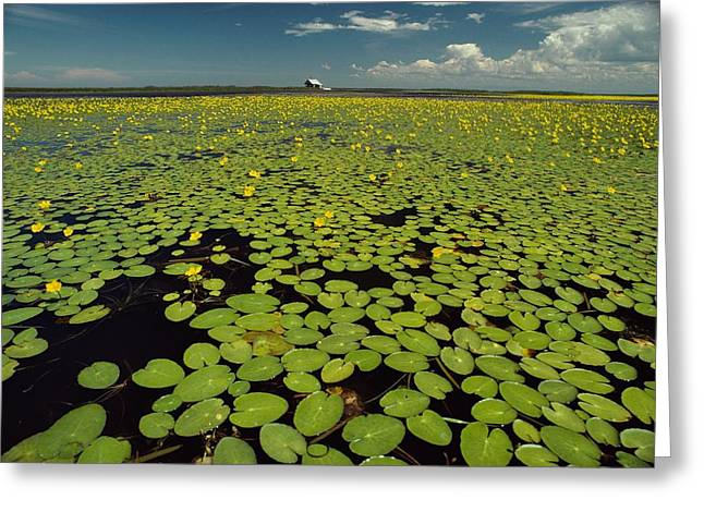River Of Life Greeting Cards - A River Delta Filled With Lily Pads Greeting Card by Bill Curtsinger