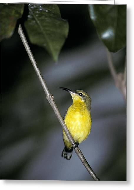 Perth Zoo Greeting Cards - A Roosting Female Yellow-bellied Greeting Card by Jason Edwards
