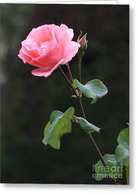 Pinks And Greens Greeting Cards - A Rose for Rodin Greeting Card by Carol Groenen