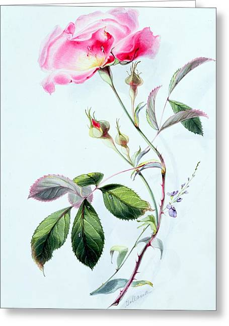 Roses In Bud Greeting Cards - A Rose Greeting Card by James Holland