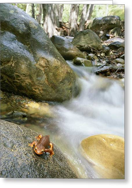 Hondo Greeting Cards - A Rough-skinned Newt Sits On A Rock Greeting Card by Rich Reid
