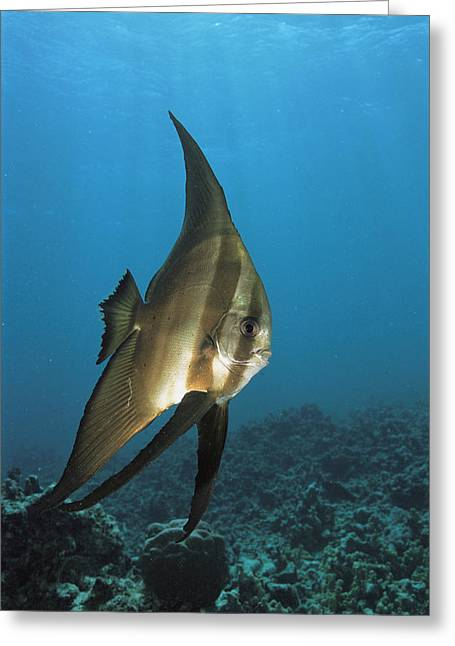 Batfish Greeting Cards - A Round-faced Batfish Cruises Clear Greeting Card by Tim Laman