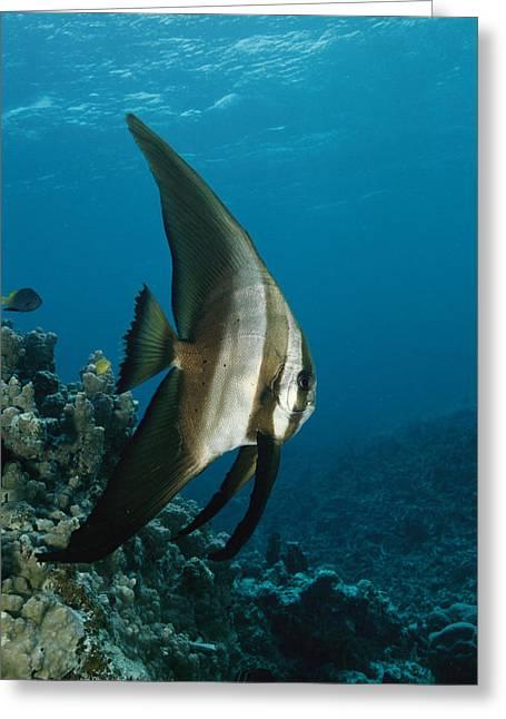 Batfish Greeting Cards - A Round-faced Batfish Cruising Greeting Card by Tim Laman