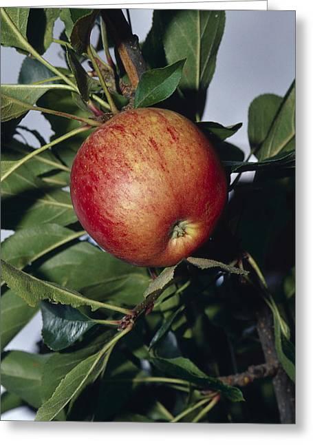 Royal Gala Greeting Cards - A Royal Gala Red Apple Growing Greeting Card by Jason Edwards