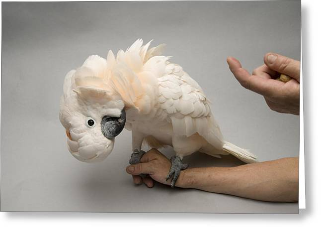 Head Tilt Greeting Cards - A Salmon-crested Cockatoo Cacatua Greeting Card by Joel Sartore