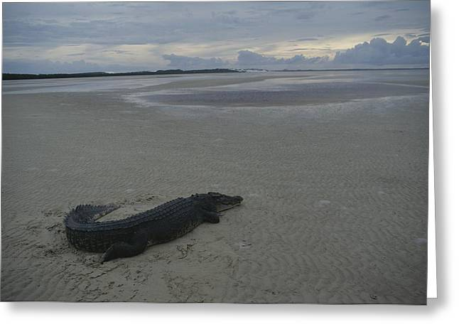 A Saltwater Crocodile Seeks Warmth Greeting Card by Sam Abell