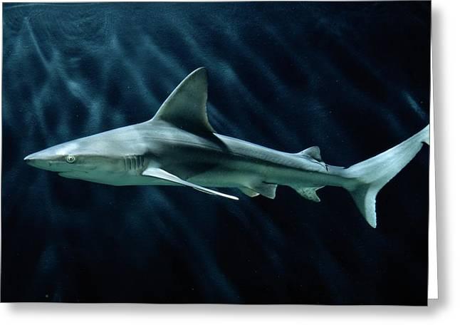 Sandbar Greeting Cards - A Sand Bar Shark Carcharhinus Plumbeus Greeting Card by George Grall
