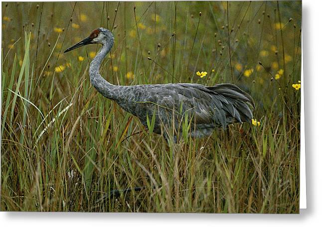 Florida Marsh Greeting Cards - A Sandhill Crane Grus Canadensis Stands Greeting Card by Randy Olson