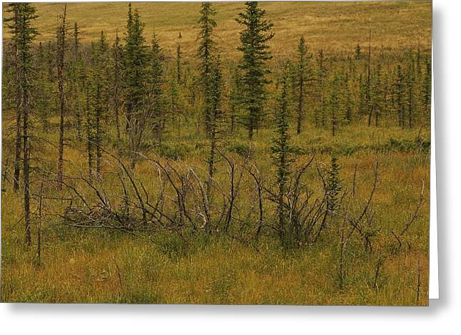 Cypress Hills Interprovincial Park Greeting Cards - A Scenic View Of A Spruce Bog Greeting Card by Raymond Gehman