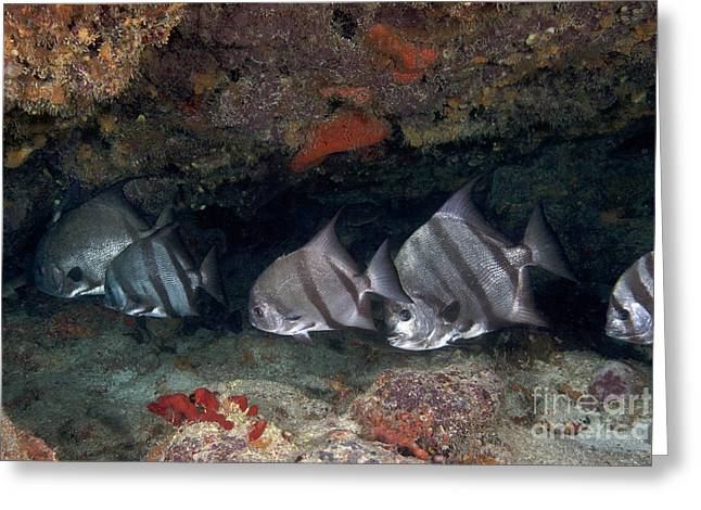 Spadefish Greeting Cards - A School Of Atlantic Spadefish Greeting Card by Terry Moore