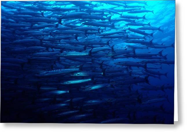Sipadan Greeting Cards - A School Of Blackfin Barracuda Greeting Card by Tim Laman