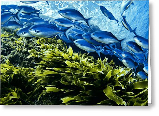 A School Of Blue Maomao Swim Greeting Card by Brian J. Skerry