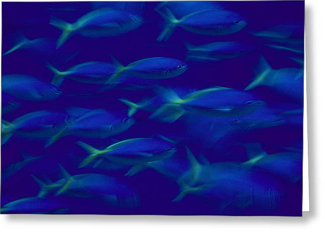Caesio Teres Greeting Cards - A School Of Fusilier Fish, Caesio Teres Greeting Card by Bill Curtsinger